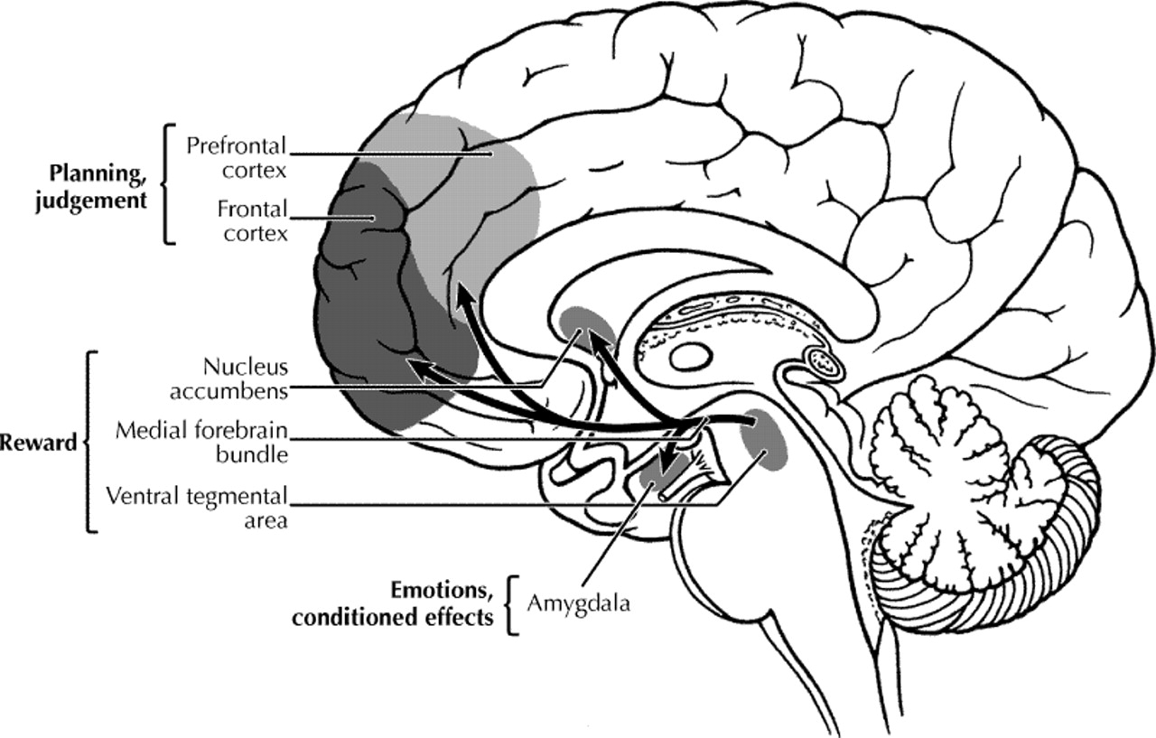 Figure2 addiction and the brain the role of neurotransmitters in figure2 addiction and the brain the role of neurotransmitters in the cause and treatment of drug dependence cmaj ccuart Image collections