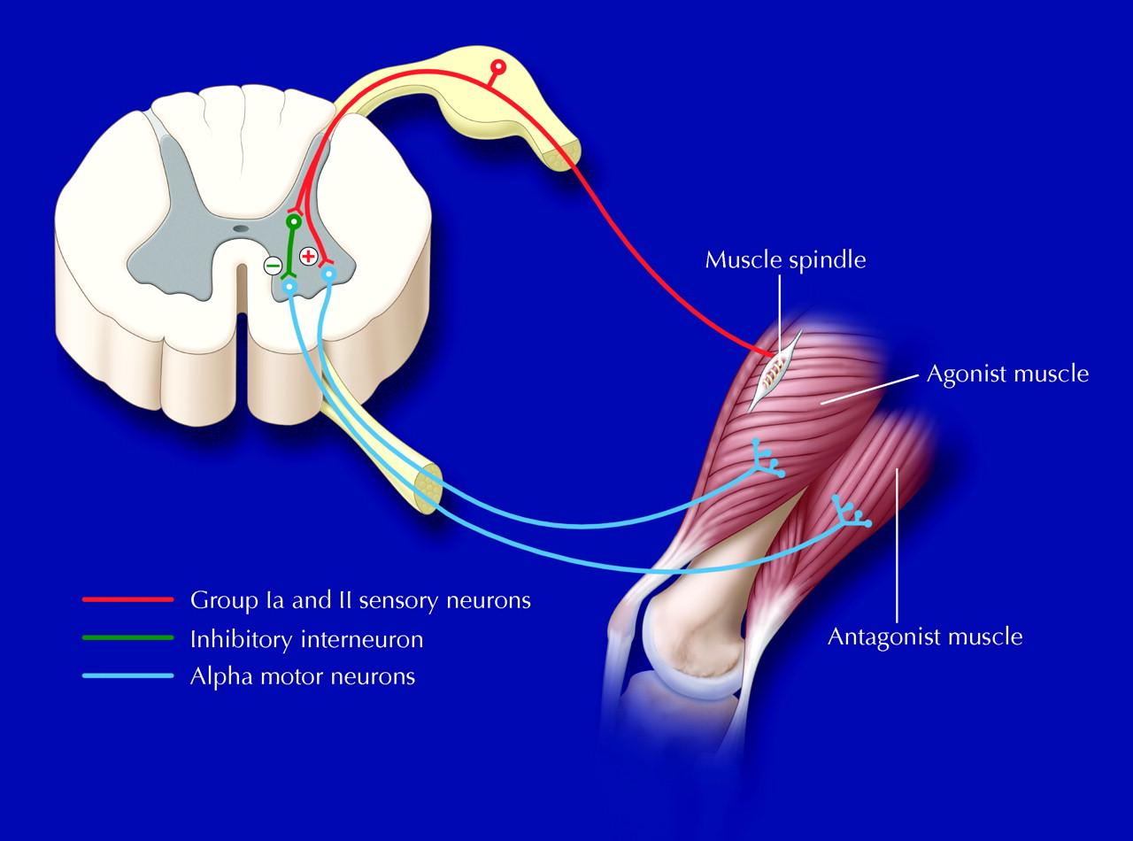 rehabilitation medicine: 3. management of adult spasticity, Skeleton