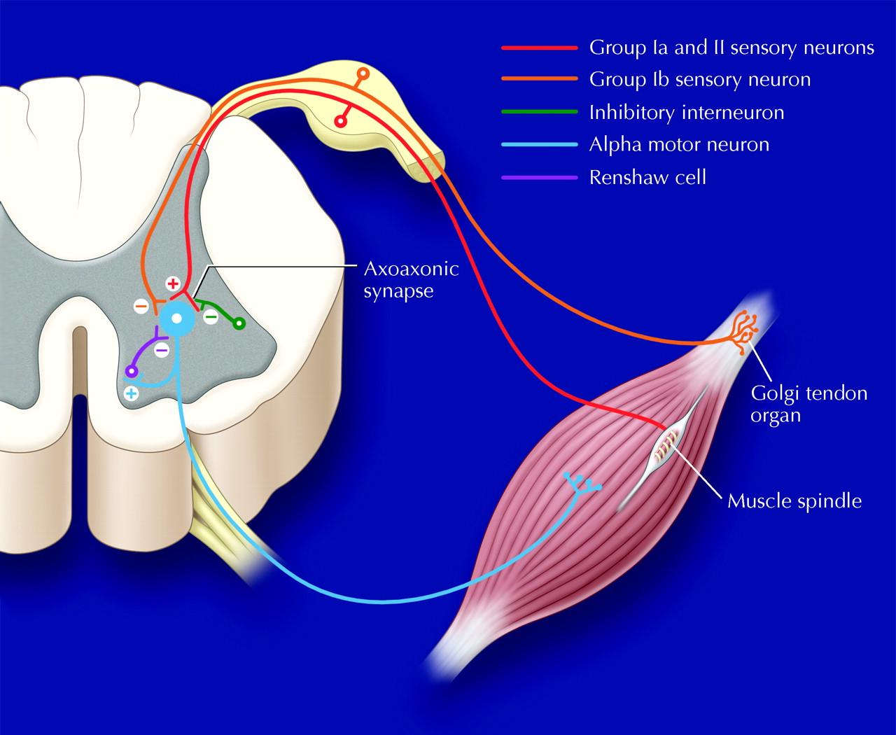 Rehabilitation Medicine  3  Management Of Adult Spasticity