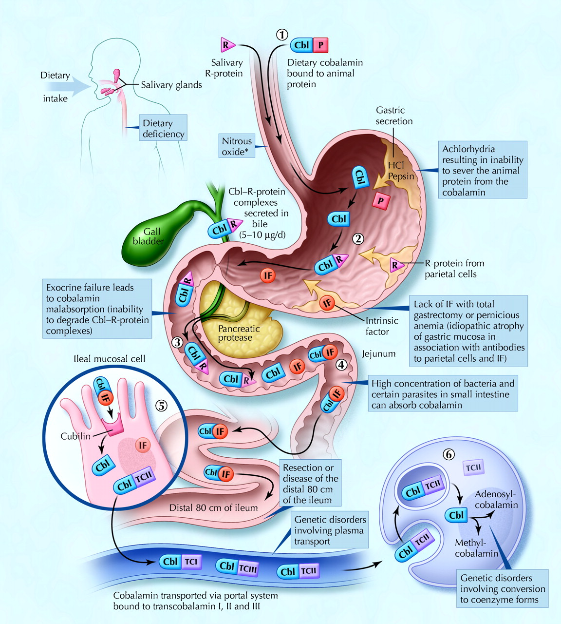 Bile Duct Treatment Pdq together with 52085 furthermore Frog Digestive System Diagram in addition Stock Photo Human Ribcage And Internal Organs  puter Artwork 69878144 furthermore Watch. on large intestine digestion