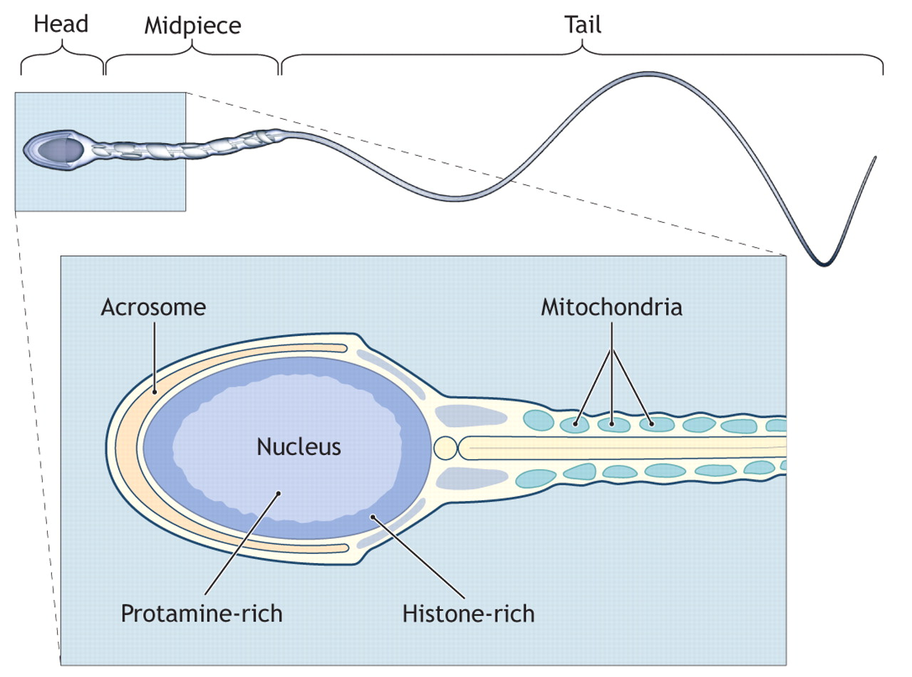 sperm of clear How traces